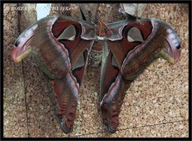 Hannover Berggarten Atlasfalter Tropenhaus Schmetterlinge
