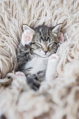 Foto eines schlafenden Katzenbabys in Rückenlage