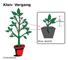 Hanfsteklinge Cannabis Klone schneiden von Hanf Mutterpflanze