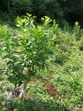 3年目のレモンの木