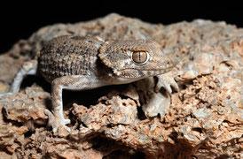 Gecko casqué