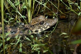 Crocodile nain juvénile