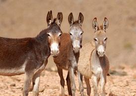 Equus africanus asinus © Michel AYMERICH