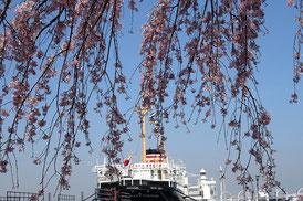 氷川丸と山下公園のしだれ桜