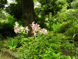 妙法寺境内 鹿の子百合