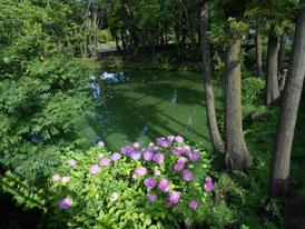 白鷺池のアジサイ