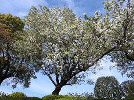 ローズガーデンの桜