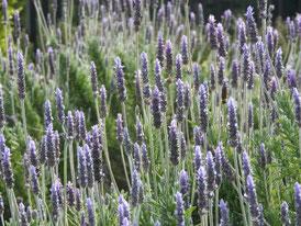 アメリカ山公園の花、フレンチラベンダー