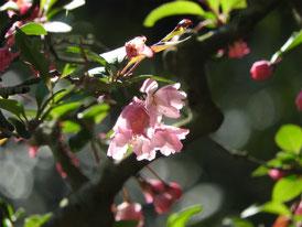 白蓮舎前庭の、花海棠