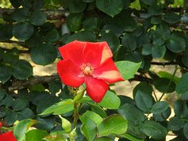 文学館の薔薇