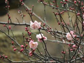 境内にはもう梅の花