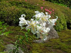 山水庭園の百合