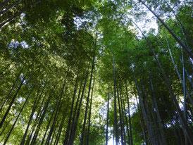 竹の春・竹林