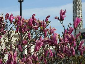 アメリカ山公園の花、マグノリア