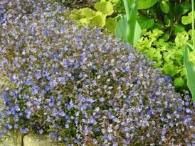 アメリカ山公園の花、サルビア・ネモローサ