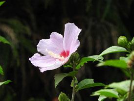 瑞泉寺の木槿