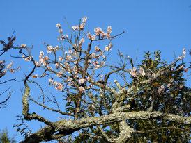 ギャラリー横の庭の白梅