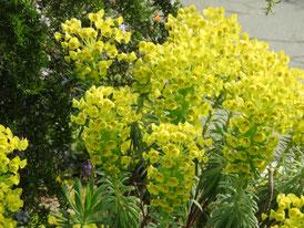 アメリカ山公園の花、ユーフォルビア