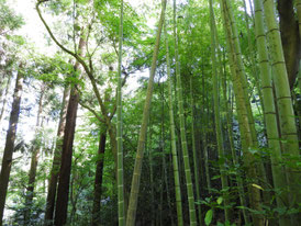 墓苑の竹林