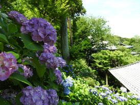 紫陽花と経堂