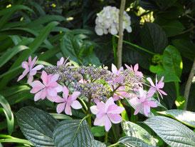 収玄寺の額紫陽花