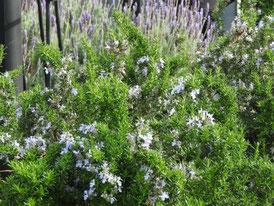 アメリカ山公園の花、ローズマリー