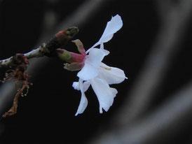 境内の冬桜