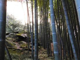 孟宗竹の竹林
