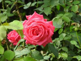 バラ園の薔薇