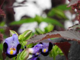 報国寺本堂裏庭園の夏菫