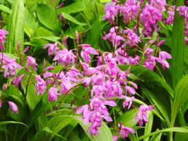 長谷寺の紫蘭