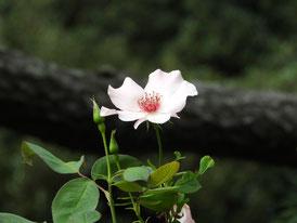 バラ園のハトヤバラ