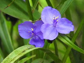 瑞泉寺の大紫露草