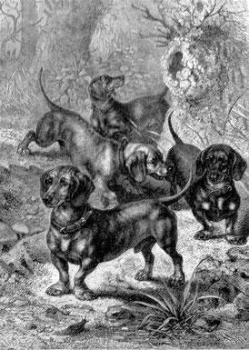 Dachshunde, gezeichnet von F. Specht, 1772 (Enzyklopädie der Jagdhunde, H. Räber)