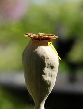ナガミヒナゲシ(外来種)の鞘