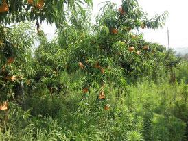 草との共生環境の中でたくましく育っている桃の木