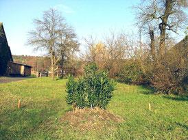 Oleander freistehend  . .