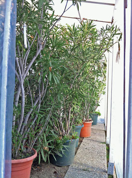 a hard frost is predicted oleander haus. Black Bedroom Furniture Sets. Home Design Ideas