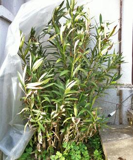 oleander im freiland dokumentation oleander haus. Black Bedroom Furniture Sets. Home Design Ideas