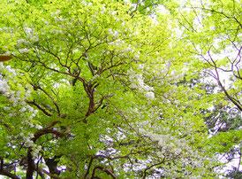 枝いっぱいに咲いたシロヤシオ