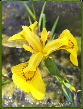 Charlotte Deppisch: Foto Wasserlilie