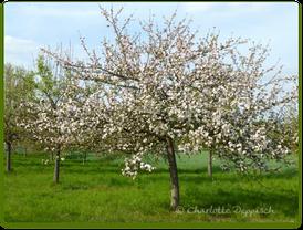 Charlotte Deppisch: Foto Blütenbaum 1