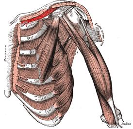 香芝の整体師の鎖骨下筋