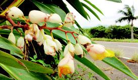 野底地区で咲く月桃の花(平良八重子さん提供写真)
