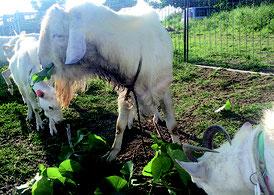 竹富町が山羊生産振興対策事業の計画を進めている(資料写真)