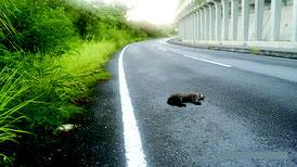 竹富町字西表で交通事故死したイリオモテヤマネコ(西表野生生物保護センター提供写真)