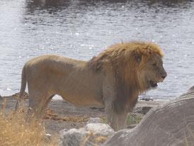 Namibia, Etosha National Park, Löwe