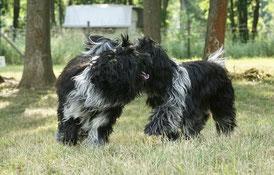 Auwaldwuffel Schapendoes