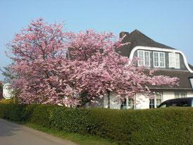 Hotel auf Amrum - Kirschblüte im Frühjahr