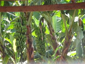 バナナの房が凄~い花も凄~い